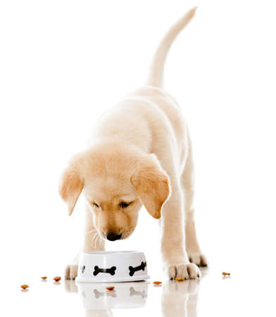 over eating: Cute puppy eating dog food - isolated over a white background  Stock Photo