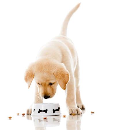 perro comiendo: Perrito lindo comer comida para perros - aislados en un fondo blanco Foto de archivo