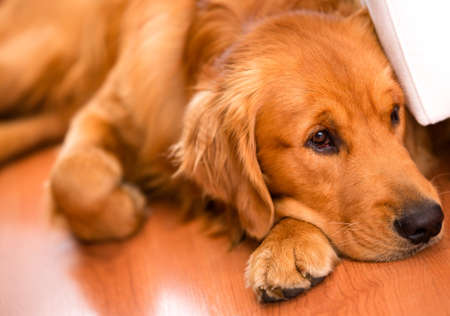golden retriever: Beautiful dog at home looking very bored