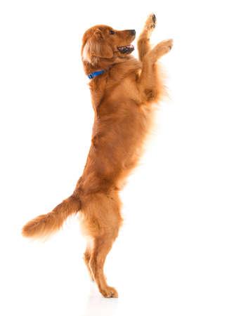 perros jugando: Salto Perro lindo - aislados en un blanco Backgorund Foto de archivo