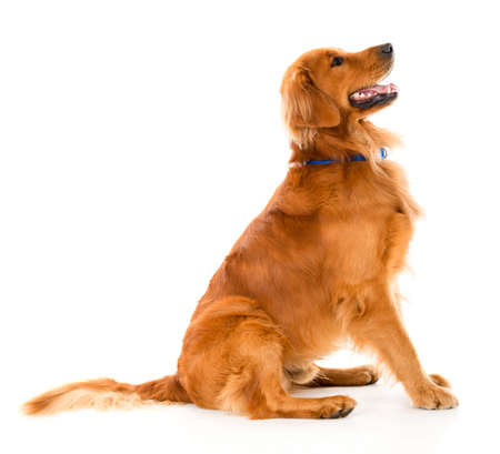 golden retriever: Beautiful dog looking alert - isolated over a white background