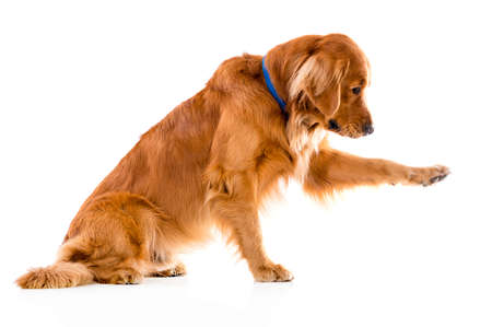 golden retriever: Cute dog giving his paw - isolated over a white background Stock Photo