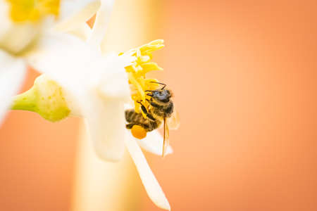 a bee pollinating an orange blossom