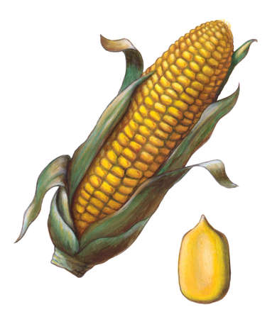 genetically modified crops: Corn cob and kernel. Hand painted illustration. Stock Photo