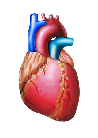 human vein  heartbeat: Human heart anatomy. Original hand painted illustration.