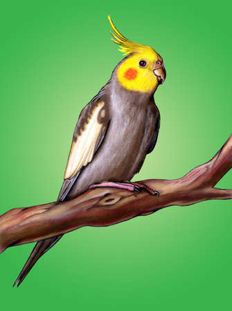 Male cockatiel perched on a tree branch. Stock Photo - 3135432