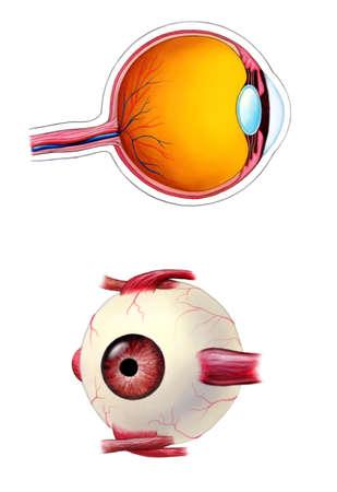 vitreous: Human eye interior and exterior anatomy. Mixed media illustration. Stock Photo