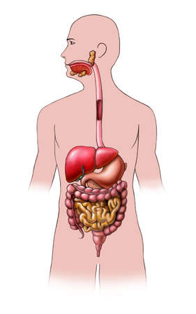sigmoid colon: Human digestive system. Digital illustration.