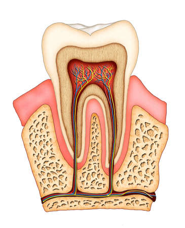 Section of a molar showing its internal structure. Digital illustration. Banco de Imagens