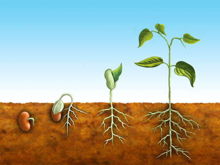 germinaci�n: El proceso de germinaci�n de una planta de frijol. Ilustraci�n digital.