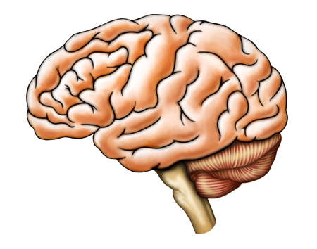 Human brain anatomy, side view. Digital illustration.