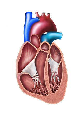 Human heart cross section. Original digital illustration.