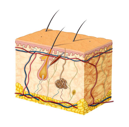 muscle cell: Human skin anatomy. Digital illustration.