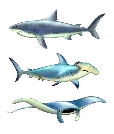 manta: White shark, hammerfish and manta ray. Digital illustration.