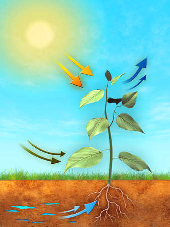 Proceso de fotosíntesis básicos: agua, el dióxido de carbono y la luz se utilizan para producir oxígeno y azúcar. Ilustración digital.