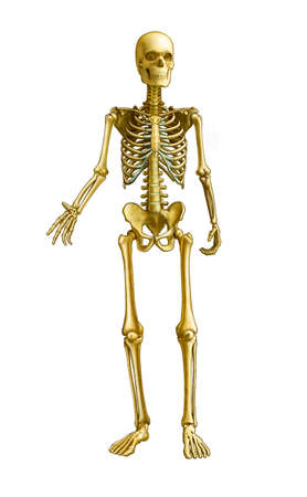 skeleton skull: Full human skeleton, front view. Digital illustration Stock Photo