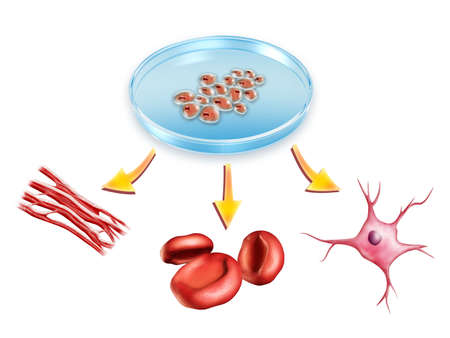 Pluripotent stem cells used to generate muscle, blood and neural cells. Digital illustration.