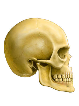 face surgery: Human skull, side view. Digital illustration