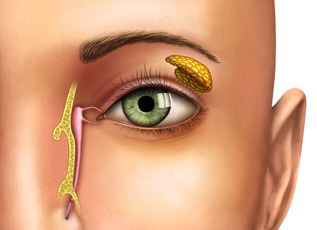 Anatomy drawing showing the functioning of lacrimal glands. Digital illustration. Stock Photo