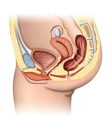 Anatomía Del Sistema Reproductor Femenino, Corte. Fotos, Retratos ...