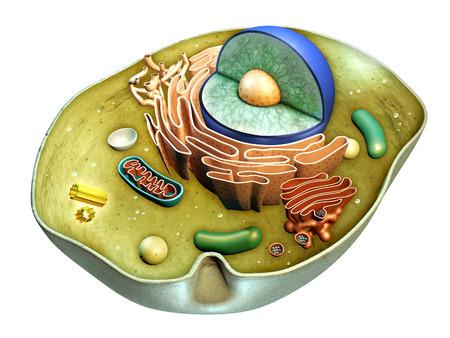 Interne structuur van een dierlijke cel. Digitale illustratie. Het knippen inbegrepen weg.