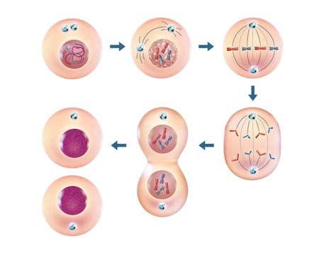 Various steps of cellular division. 3D illustration.