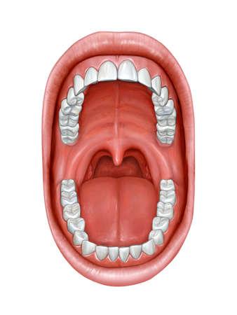 口の中の解剖学.デジタル イラストです。