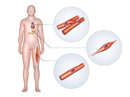 인체의 다른 근육 유형. 3D 그림, 클리핑 경로 포함합니다.