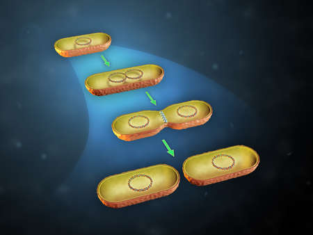Fisión binaria en bacterias. Ilustración 3D.