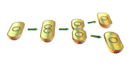 Fisión binaria en bacterias. Ilustración 3D sobre fondo blanco. Foto de archivo