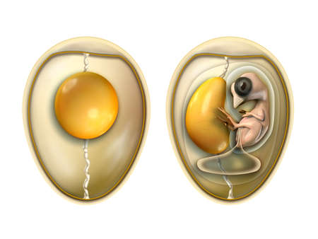 Birds egg parts with embryo. Digital illustration with included clipping path.