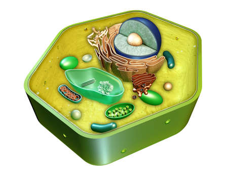 Internal structure of a plant cell. Digital illustration. Clipping path included.
