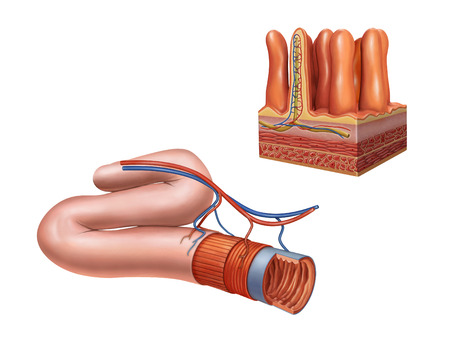 Small intestine anatomy. Digital illustration.