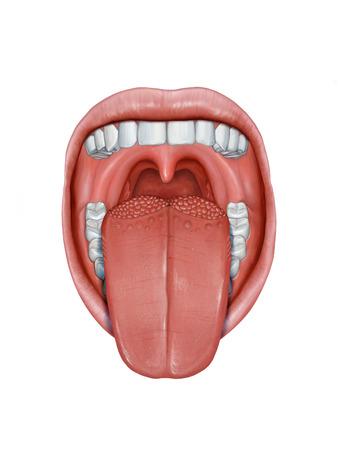 Open mond met tong die uitsteekt, die zijn verschillende anatomische delen toont. Digitale afbeelding. Stockfoto