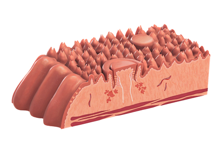 Human tongue cross-section showing its different anatomical parts. Digital illustration
