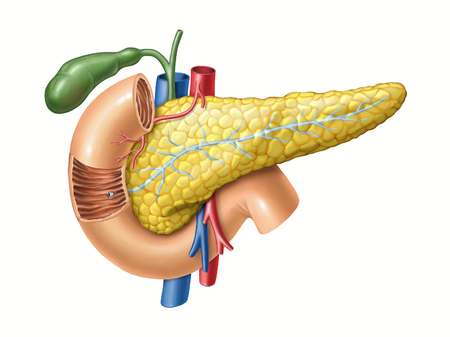 Anatomy drawing showing the pancreas, duodenum, and gallbladder. Digital illustration