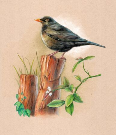 Male blackbird perched on a wood pole with some background vegetation. Mixed media illustration on toned paper. Stock Photo
