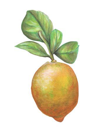 Lemon fruit and some leaves. Watercolor illustration.