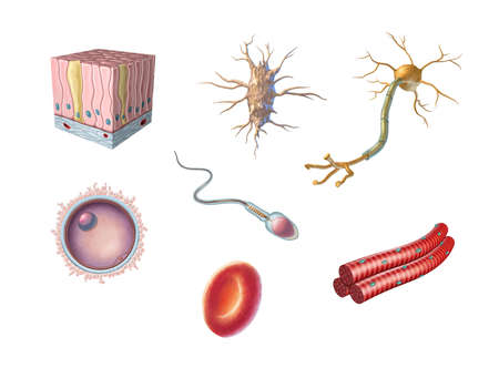 Different types of human cells including an egg cell, sperm, red blood cell, osteocyte, neuron, skeletal muscle and columnar epithelial cell. Digital illustration.