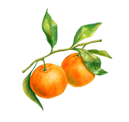 Two tangerines on a branch with leaves. WAtercolor and colored pencil illustration. Stock Photo