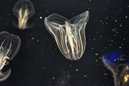 A group of aquatic jellyfish glowing in the dark.