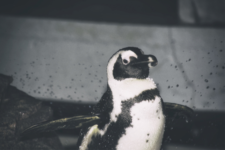 A penguin sitting on a rock at an aquarium. Flapping his wings and look at the camera. Stock Photo