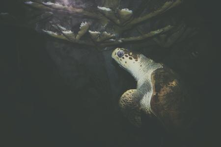 A full grown sea Turtle diving at an aquarium. Stock Photo