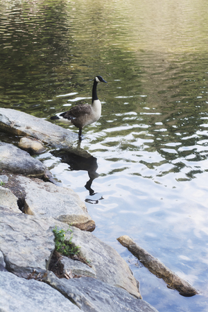 A goose standing on a rock at a lake at sunrise. Stock Photo