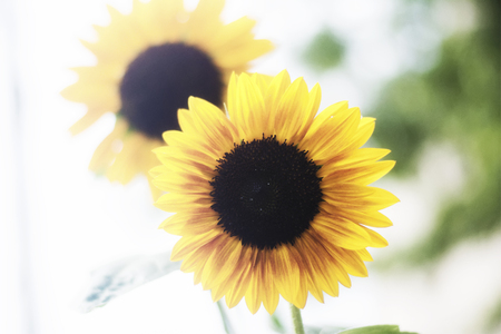 A pair of happy sunflowers dancing in the middle of a summers day. Stock Photo