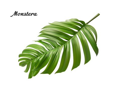 Vector realistic illustration of tropical monstera leaves isolated on white background Vector Illustration