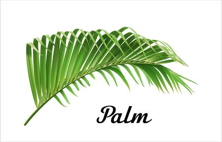 Vector tropical jungle palm leaf isolated on white background. Tropical botanical illustration, green foliage, floral elements.