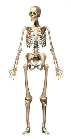 Human skeleton on white background, realistic - Vector Graphics