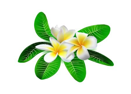 Realistic white-yellow plumeria (frangipani) flowers with green leaves isolated on white background. Vector illustration Vector Illustration