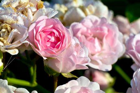 kleine roze roos btw witte rozen Stockfoto